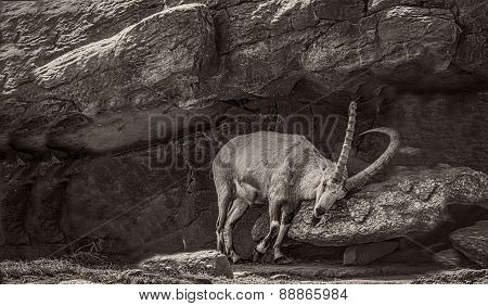 B&W photo of a Nubian Ibex scrapping horns in a rock grotto