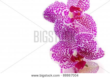 Pink Orchid Branch.