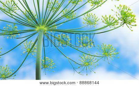 Green Dill Flower.