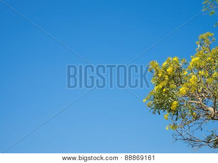 Tree  With Yellow Flowers Branches Against Blue Sky For Background