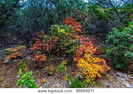 Brilliant Fall Foliage on Trail at Lost Maples State Park, Texas