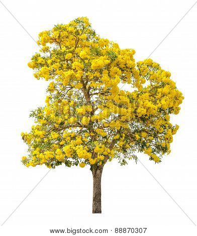 Tree full of yellow flower isolated