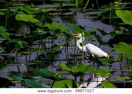 A Beautiful Great White Egret with Fish in Mouth Among Lotus Water Lilies Reflected in the Water