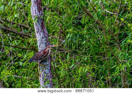 A Somewhat Rare Shot of a Least Bittern (Ixobrychus exilis) in a Tree Instead of in the Water