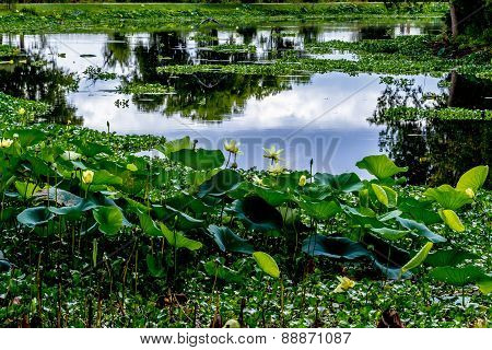 A Texas Lake Full of Beautiful Yellow Lotus Water Lilies
