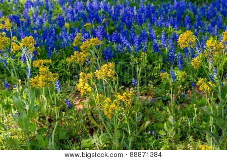 A Mix of Beautiful Texas Bluebonnet and Various Yellow Wildflowers