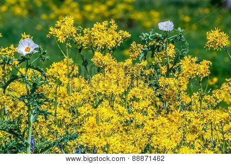 Wild white poppies with a sea of texas yellow wildflowers poster id wild white poppies with a sea of texas yellow wildflowers poster mightylinksfo