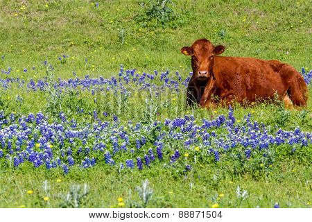 A Red Texas Cow in a Beautiful Field Blanketed With The Famous Texas Bluebonnet (lupinus Texensis)