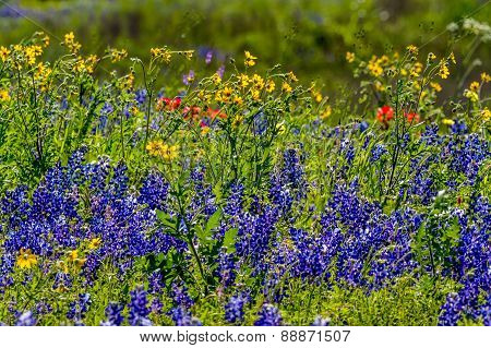Texas Bluebonnets with other Texas Wildflowers