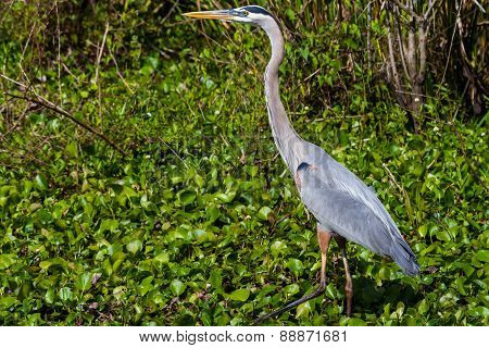 Closeup Shot of a Great Blue Heron (Ardea herodias)