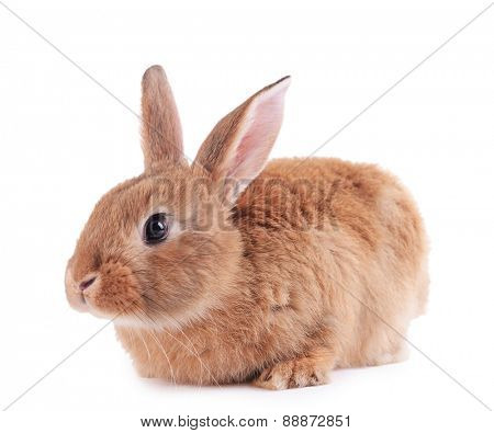 Little rabbit isolated on white