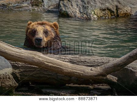 Head shot of a Brown bear in water with rocks and driftwood