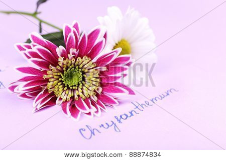 Beautiful chrysanthemum with inscription on paper background