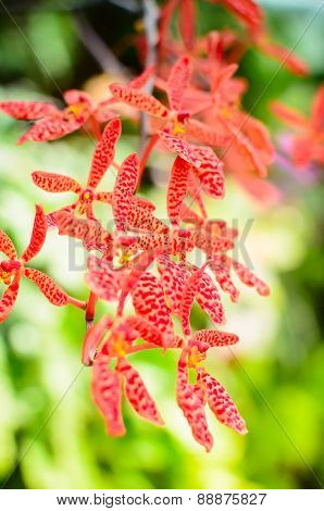 The red and orange orchid flowers