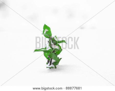 Plant of rose on snow background
