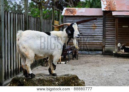 Goat at pet zoo