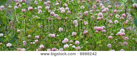 Meadow Covered With Flowering Clover