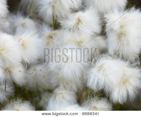 Marsh Plants - Cotton Grass