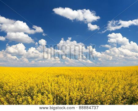 Landscape With Rapeseed Flowers