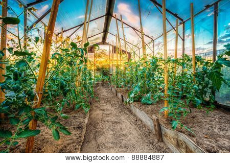 Tomato Plant. Raised Beds In Vegetable Garden