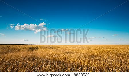 Yellow Wheat Ears Field On Blue Sunny Sky Background. Rich Harve