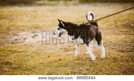 Young Happy Husky Puppy Eskimo Dog