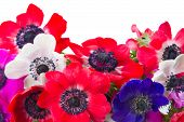 picture of windflowers  - border of blue pink and red fresh anemone flowers isolated on white background - JPG