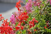 picture of geranium  - Red and pink geraniums in a window box - JPG