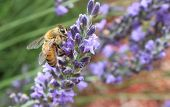 picture of gathering  - Honey Bee gathering pollen on a purple Lavendar bush - JPG