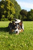 picture of laika  - Dog resting in grass after a long play - JPG