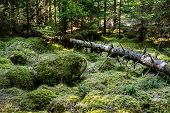 picture of fallen  - Stones and fallen dry tree covered with moss lying in dense forest - JPG