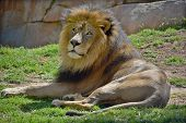 picture of african lion  - Male lion - JPG