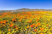 picture of antelope  - Springtime in California thousands of flowers blooming on the hills of the Antelope Valley California Poppy Preserve - JPG