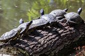 Постер, плакат: Turtles On A Log