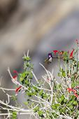 stock photo of hummingbirds  - small Anna - JPG