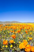 image of antelope  - Springtime in California thousands of flowers blooming on the hills of the Antelope Valley California Poppy Preserve - JPG