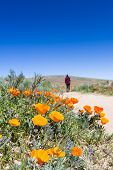stock photo of antelope  - Trail thru the field covered in spring flowers in Antelope Valley California Poppy Preserve - JPG