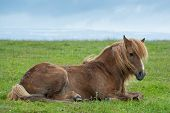 picture of iceland farm  - Icelandic horse resting in the field in a dark day - JPG