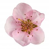 pic of peach  - Peach blossom isolated on white background - JPG
