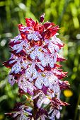 picture of marshes  - Red and white Early Marsh Orchid in a meadow in the Italian country side - JPG