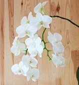 Постер, плакат: White Orchid