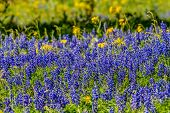foto of texas star  - A Zoomed in View of a Beautiful Field Blanketed with the Famous Texas Bluebonnet  - JPG