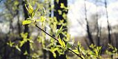 pic of bud  - First leaves and buds on the tree  - JPG