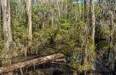 stock photo of virginia  - Bald Cypress trees in the swamps of First Landing State Park located in Virginia Beach Va - JPG
