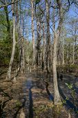 image of virginia  - Bald Cypress trees in the swamps of First Landing State Park located in Virginia Beach Va - JPG