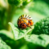 stock photo of potato bug  - The Colorado Potato Striped Beetle Leptinotarsa Decemlineata Is A Serious Pest Of Potatoes - JPG