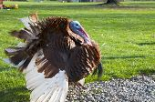 picture of gobbler  - Free Range male turkey showing his colors and long beak cover and ruffled feathers - JPG