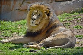 stock photo of lion  - Male lion - JPG
