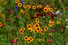 image of wildflowers  - Plains Coreopsis  - JPG