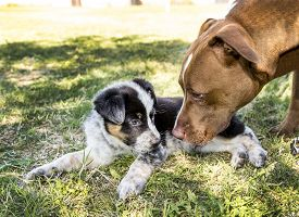foto of heeler  - Adult pit bull dog greets cute young Cute Texas Heeler Puppy - JPG